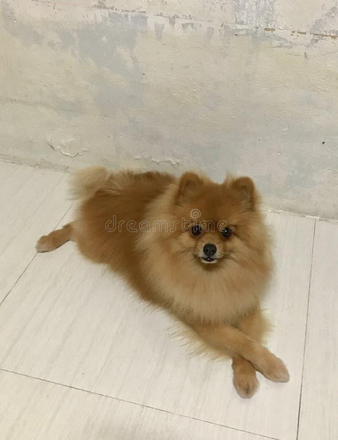 微小的狗和逗人喜爱的宠物 库存照片