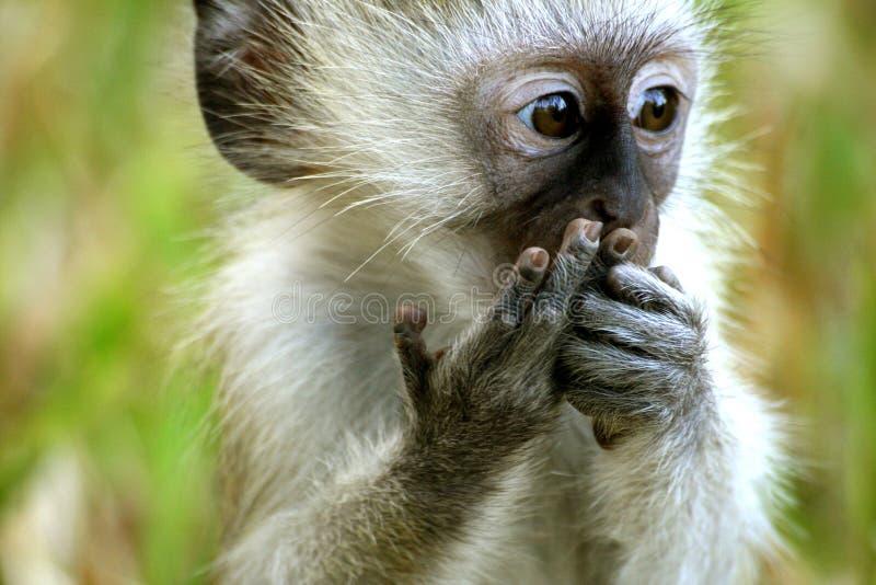 微小的猴子 免版税库存照片