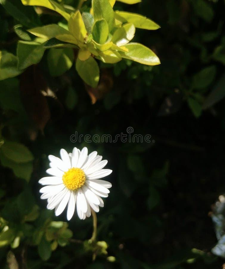 微小的白花 库存图片