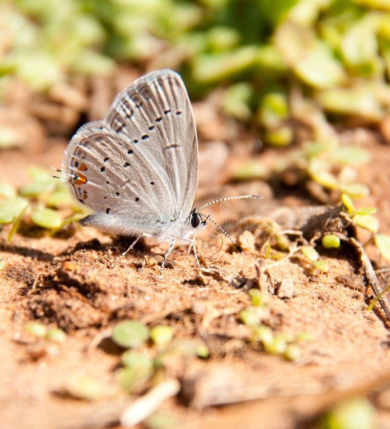 微小的矮小的东部被盯梢的蓝色蝴蝶 库存图片