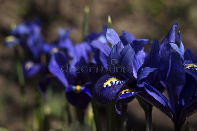 微小的紫罗兰色蓝色虹膜-开花在庭院里的矮小春天花 虹膜reticulata或矮小的虹膜,鸢尾科,球根长成 免版税库存图片