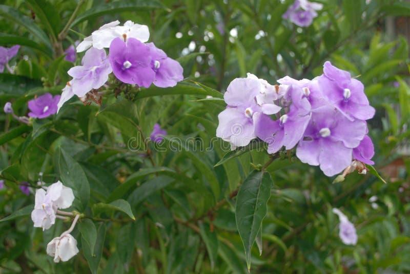 微小的紫色白的花 库存照片