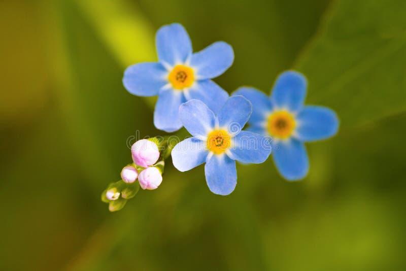 微小的蓝色宏指令开花勿忘草和五颜六色的草背景本质上 关闭 免版税库存图片