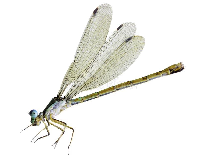 微小的蜻蜓 库存照片