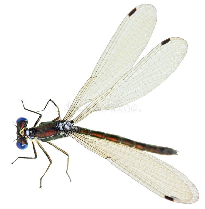 微小的蜻蜓 免版税库存图片