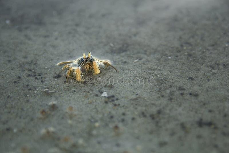 微小的螃蟹 免版税图库摄影