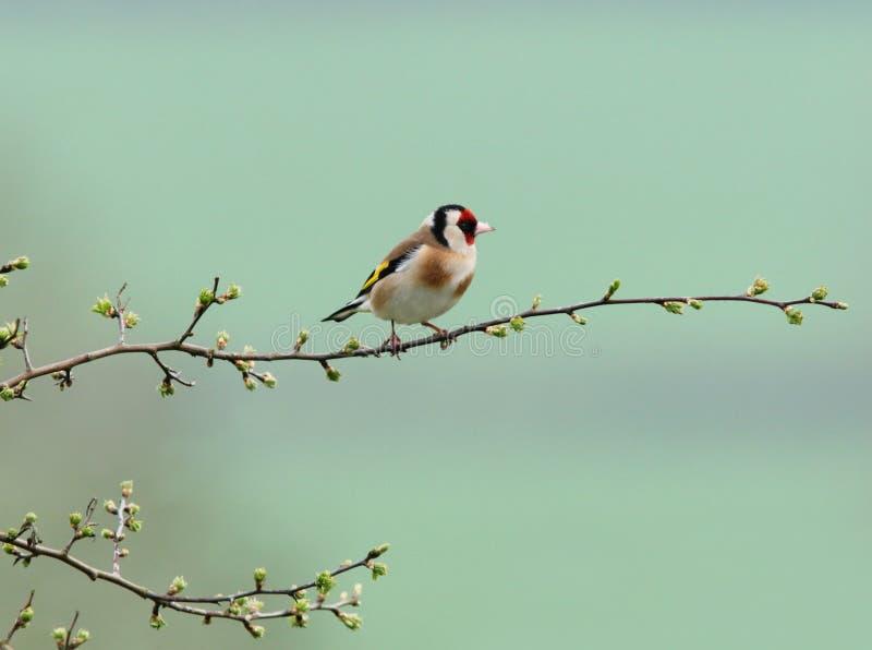 微小的金翅雀 免版税库存照片