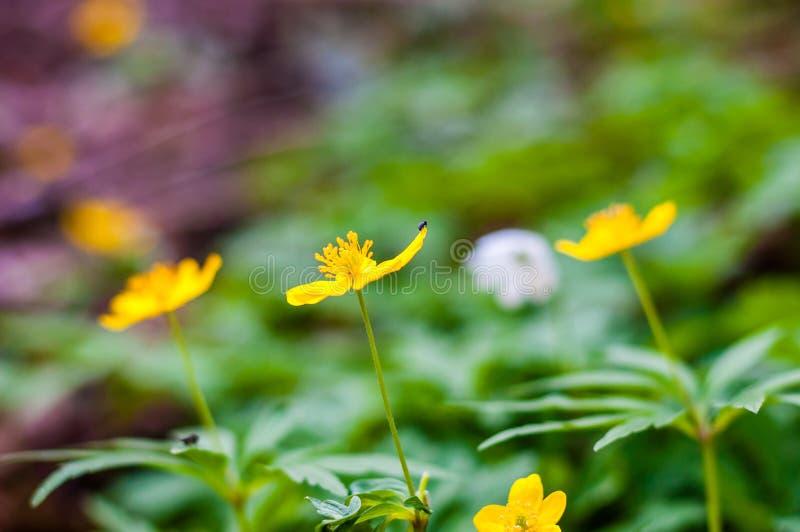 微小的黑臭虫坐开花的银莲花属Ranunculoides或黄色五叶银莲花花在春天森林里 免版税库存照片