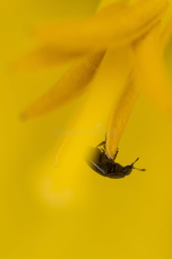 微小的黄色甲虫 库存图片
