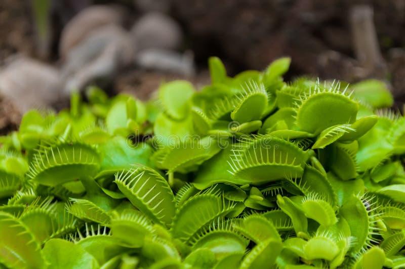 微小的绿色维纳斯捕蝇器丛特写镜头射击 库存照片