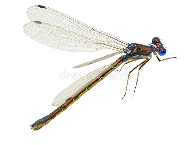 微小蓝色的蜻蜓 库存照片
