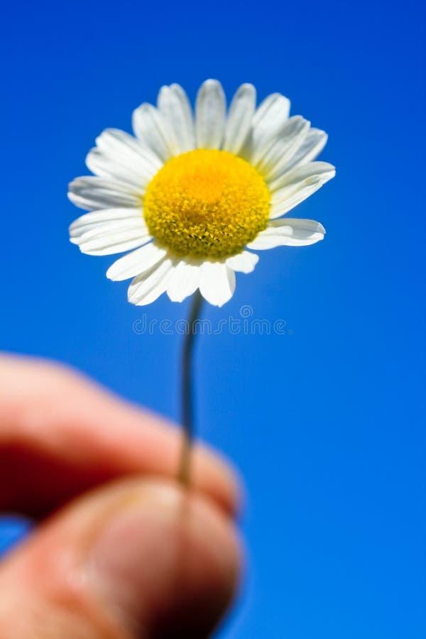 微小雏菊的藏品 库存图片