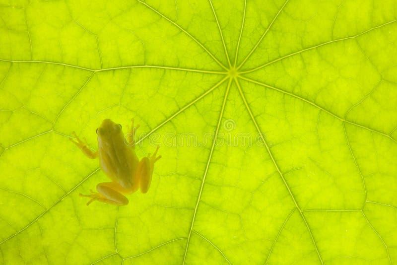 微小青蛙绿色的叶子 免版税库存照片