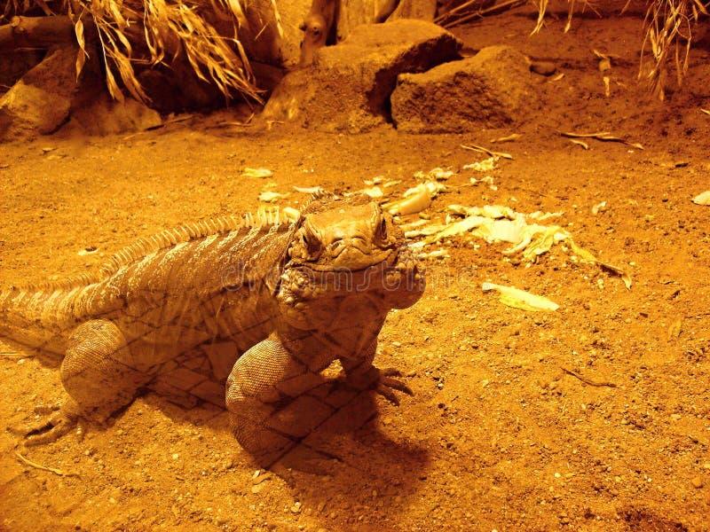 微笑古巴人鬣鳞蜥 免版税库存图片