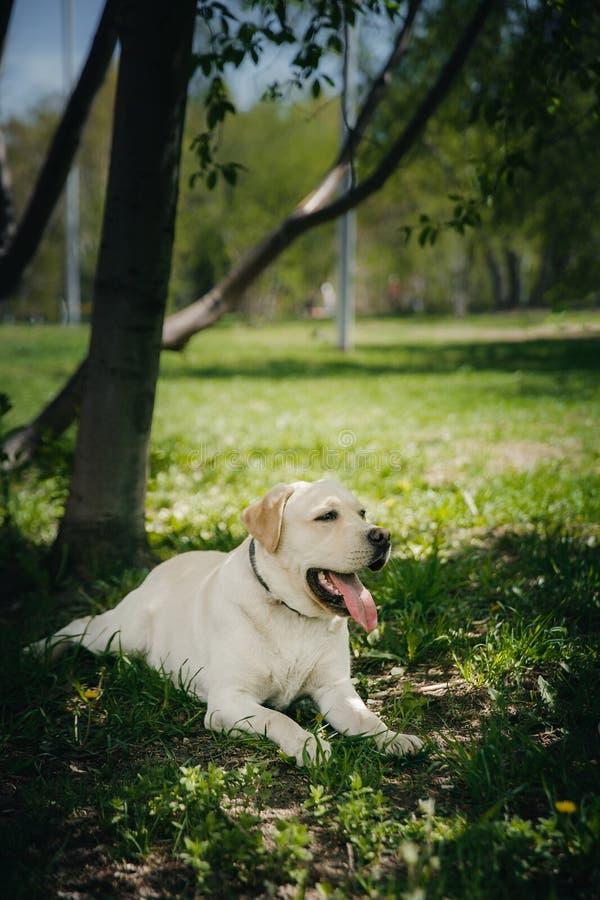 微笑和愉快的纯血统拉布拉多猎犬狗户外在草公园在晴朗的夏日 图库摄影