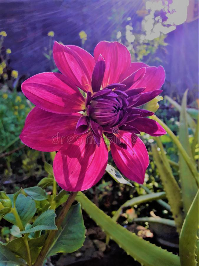 微笑在庭院里的一朵美丽的桃红色花 库存图片