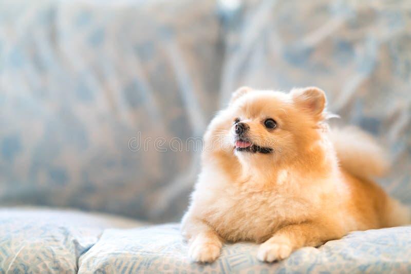 微笑在沙发的逗人喜爱的pomeranian狗,向上看复制空间 免版税图库摄影