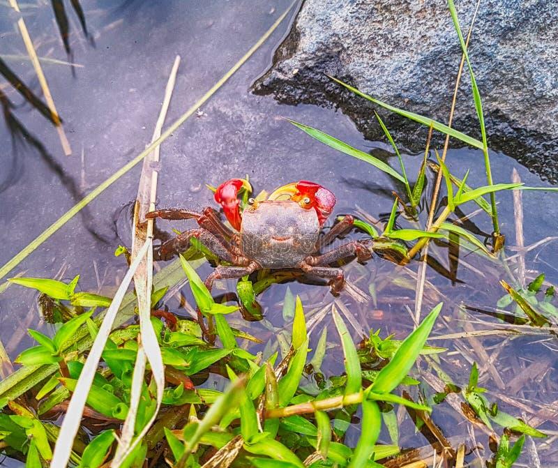 微笑在Oncheoncheon小河,Suyeong河,釜山,韩国,亚洲的窃贼螃蟹 库存照片