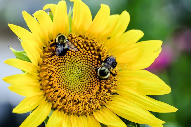 微笑的向日葵面孔与弄糟蜂作为眼睛 免版税图库摄影