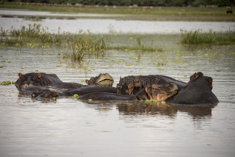 微笑的河马在水域中,曼雅拉湖,坦桑尼亚 免版税库存照片