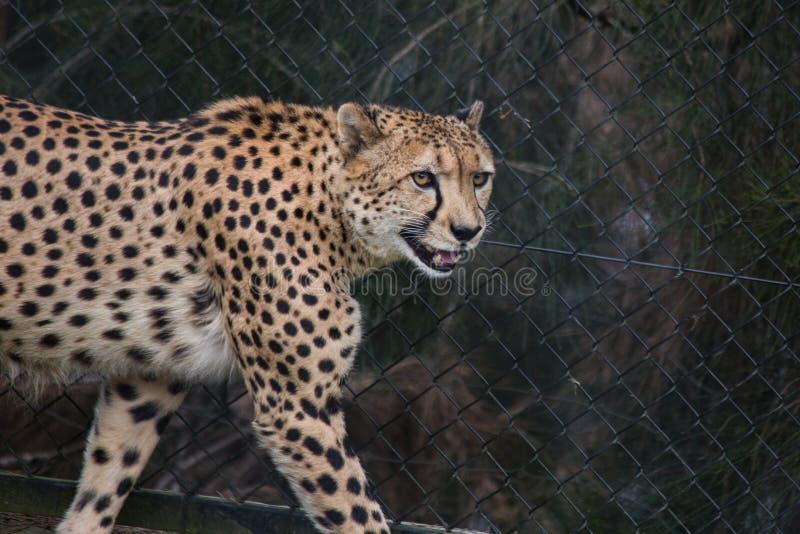 微笑的猎豹 库存图片