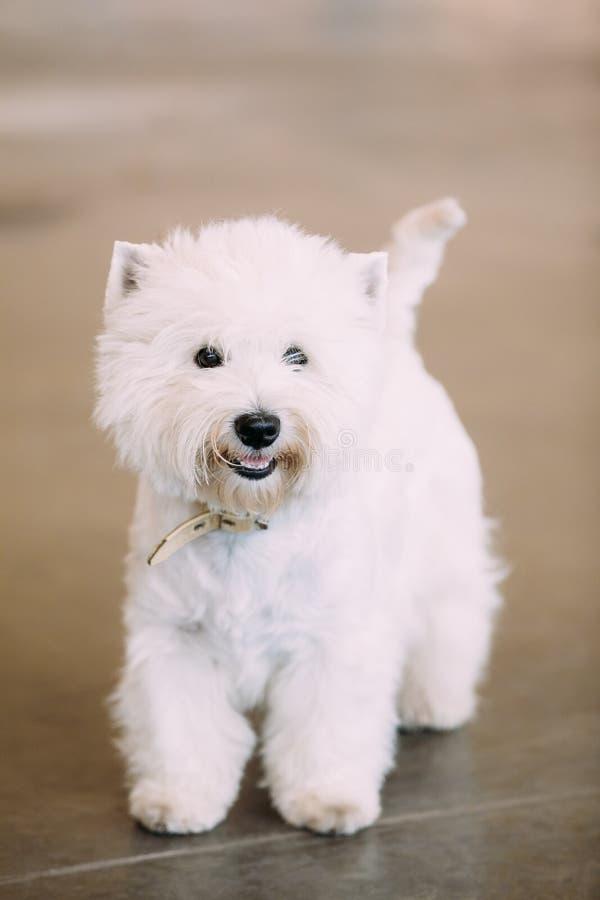 微笑的白西部高地白狗, Westie, Westy,狗 免版税库存照片
