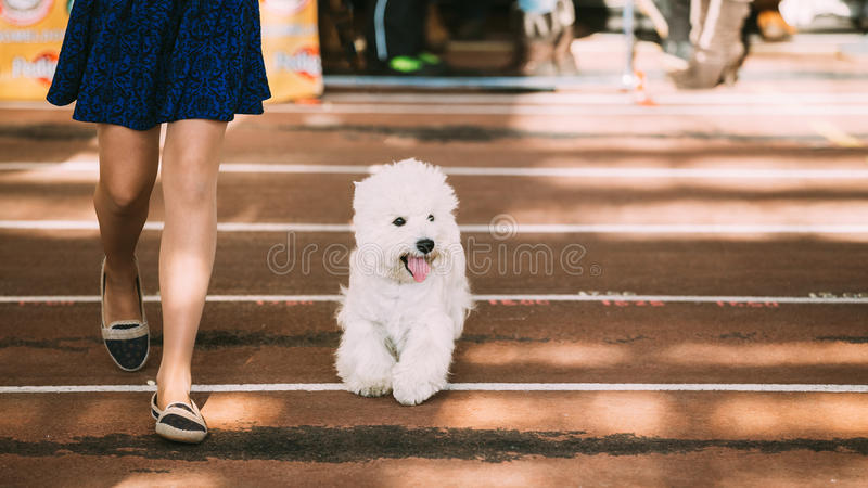 微笑的白西部高地白狗, Westie, Westy,狗 库存图片