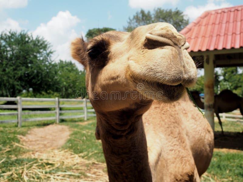 微笑骆驼在农场 免版税库存图片