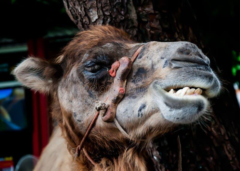 微笑骆驼 库存图片