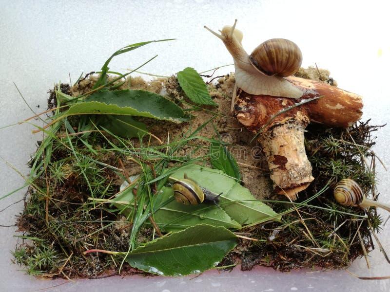 微观世界家庭蜗牛 在玻璃容器的三只蜗牛 免版税图库摄影