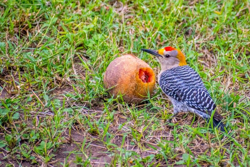 德克萨斯州唐娜维多利亚棕榈房车度假村的金额啄木鸟 免版税库存图片