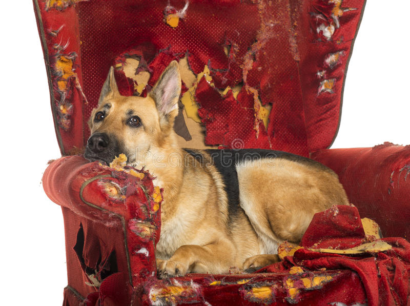 德国人Sheperd看在一把被毁坏的扶手椅子dipressed 免版税库存照片