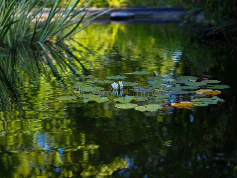 德国多特蒙德韦斯特法伦公园白水百合 免版税库存图片