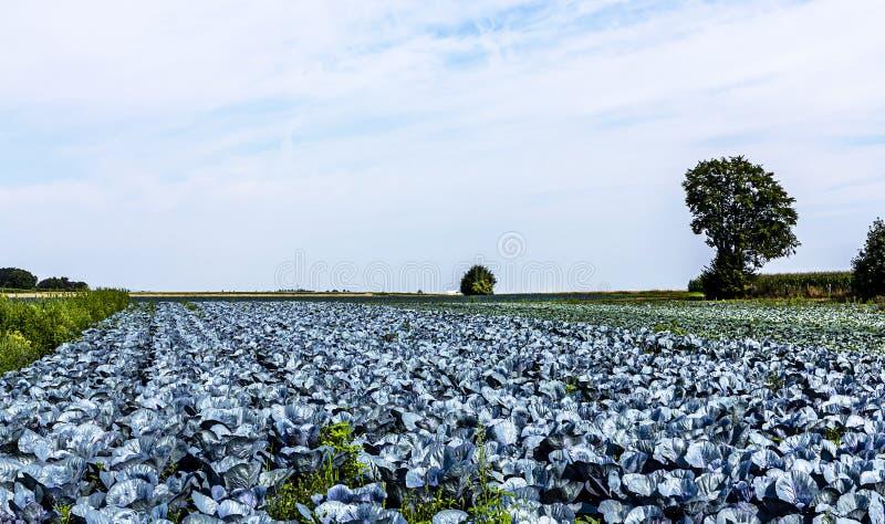 德国大规模有机农业 — 红白菜的栽培 库存照片