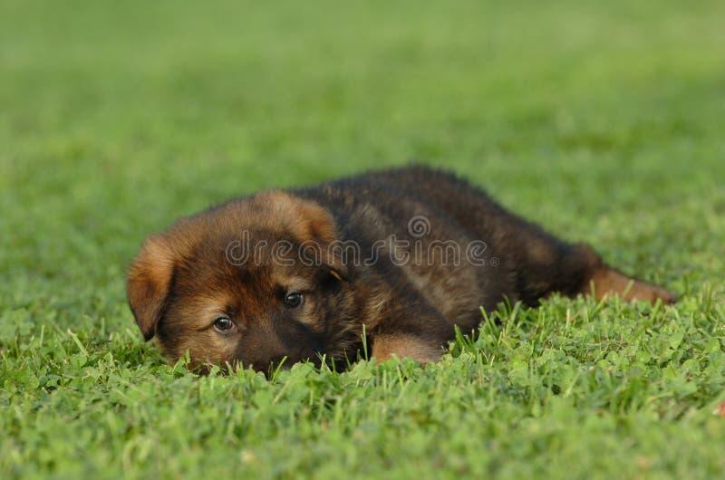 德国小狗牧羊人 图库摄影