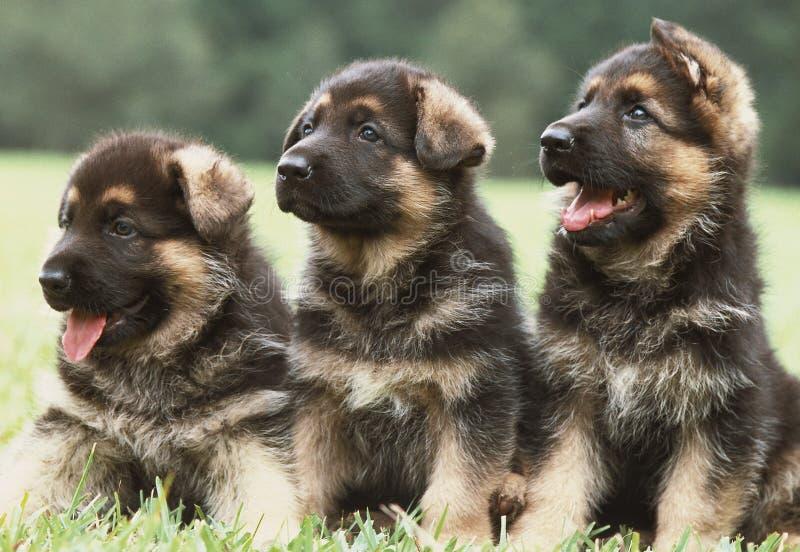 德国小狗看管三 库存照片