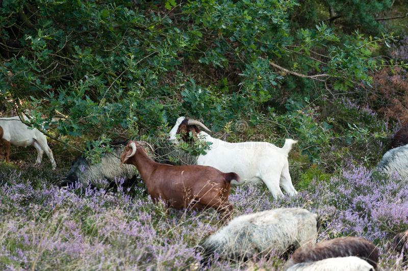 德国工作风景的moorhead绵羊和山羊 德国人Moorhead stepps和戈阿保存在荒地的风景 免版税库存照片