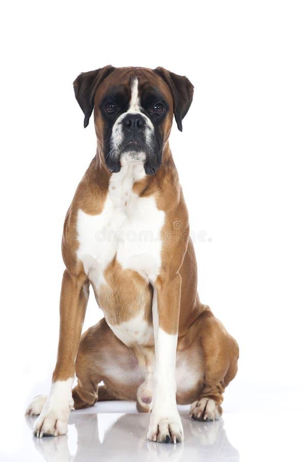 德国拳击手狗 免版税图库摄影