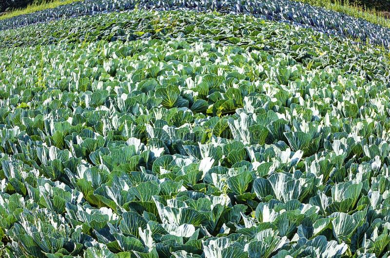 德国有机农业 — 白菜的栽培 免版税库存照片