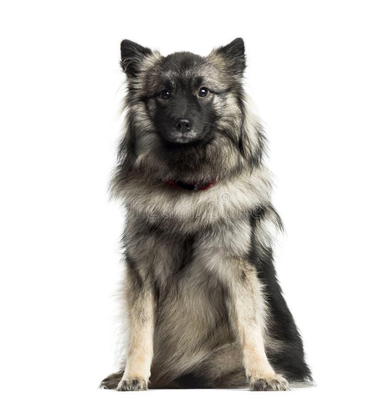 德国波美丝毛狗开会, 11个月,被隔绝 免版税库存照片