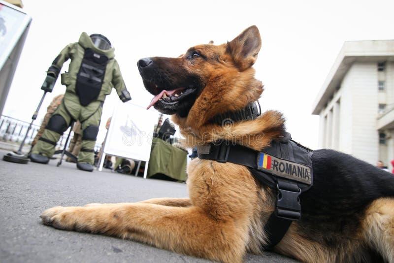 德国牧羊犬军犬训练查出炸药 库存照片