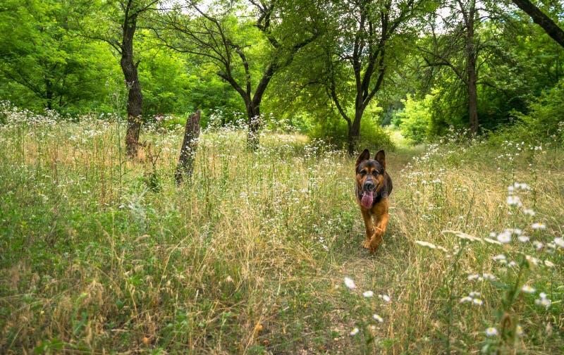 德国牧羊犬在一块美丽如画的森林沼地 图库摄影