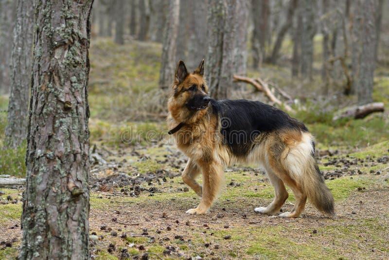 德国牧羊犬在森林里 免版税图库摄影