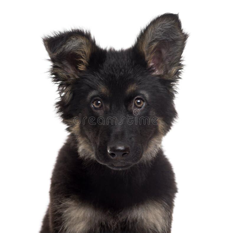 德国牧羊犬在白色隔绝的狗小狗 免版税库存图片