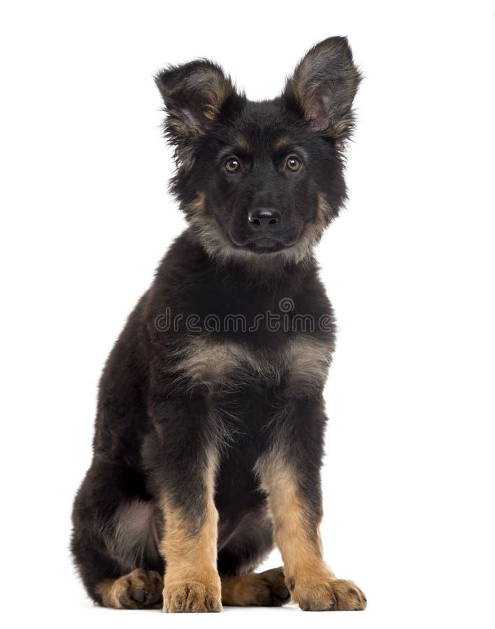 德国牧羊犬在白色隔绝的狗小狗 免版税库存照片