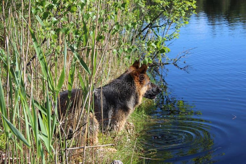 德国牧羊犬小狗10个月 湖 免版税库存图片