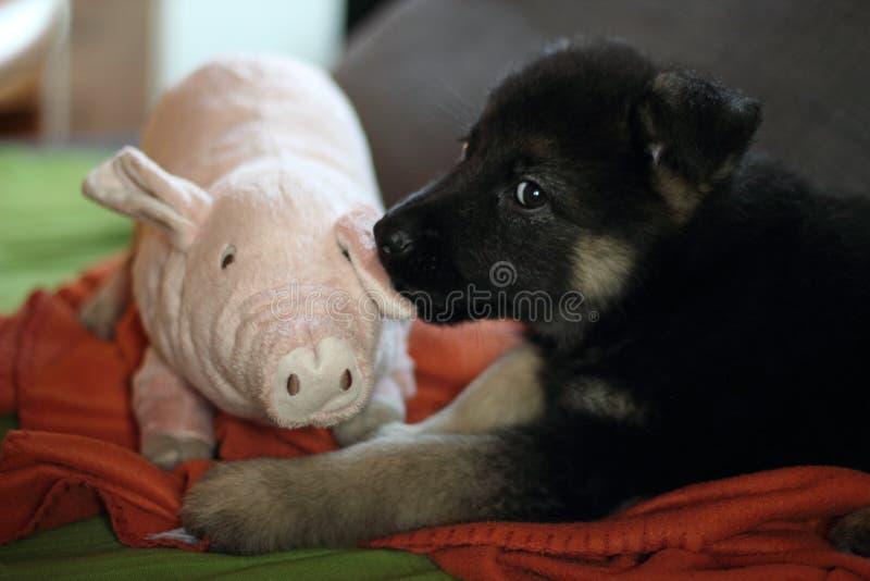 德国牧羊犬小狗 图库摄影