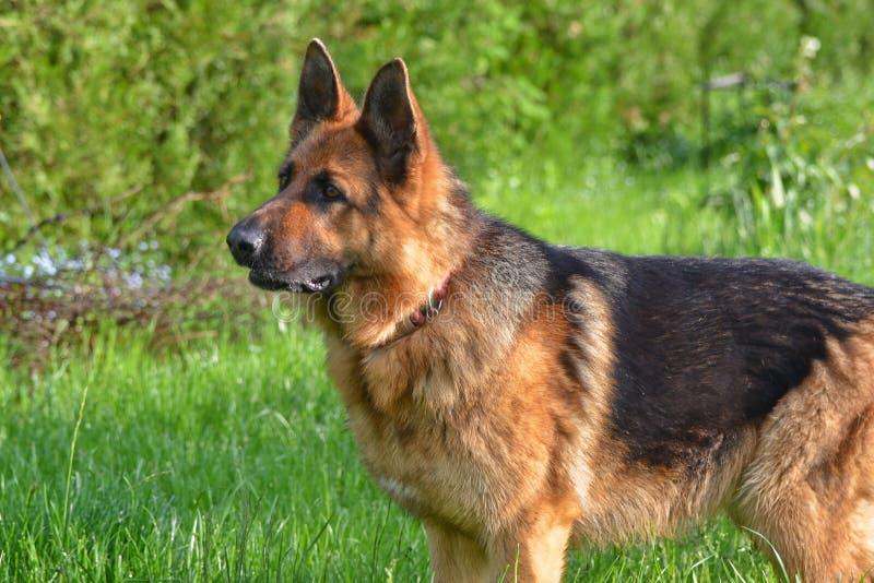 德国牧羊犬景色 免版税库存照片