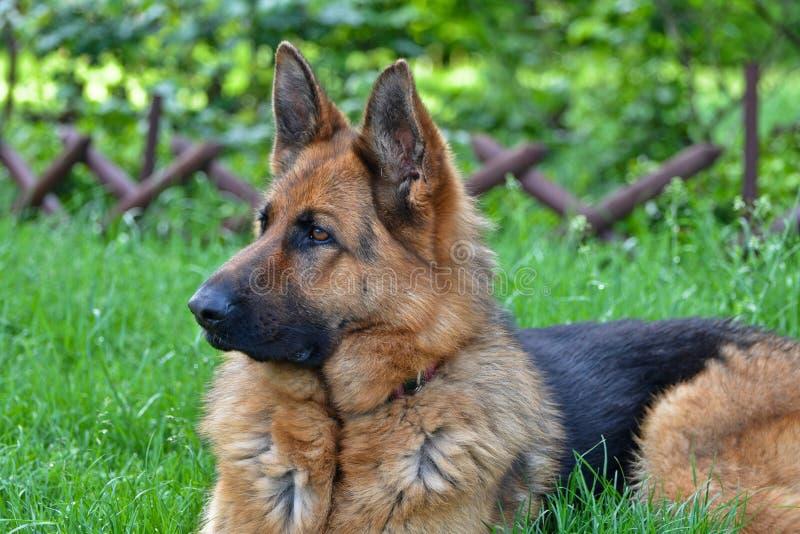 德国牧羊犬景色 库存图片