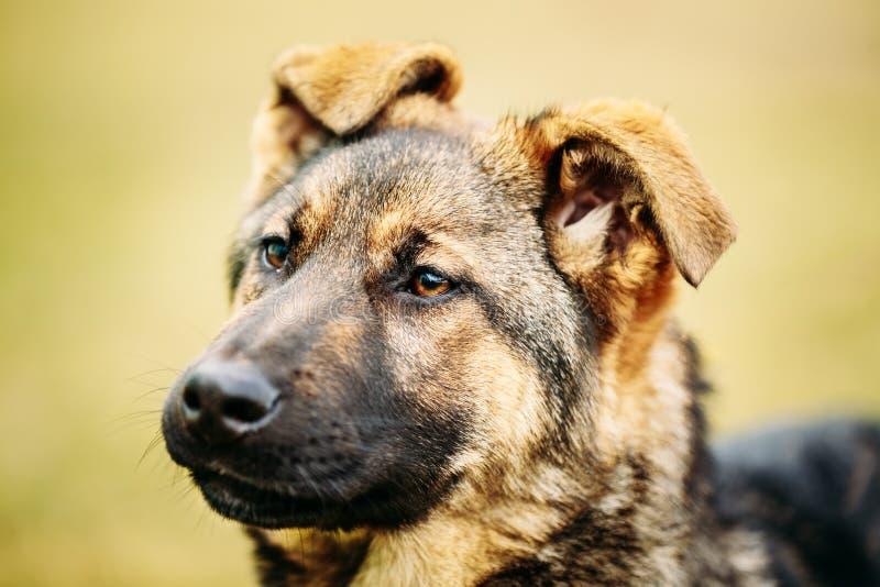 德国牧羊犬狗关闭 库存图片